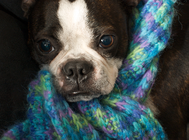 Boston Terrier With a Scarf